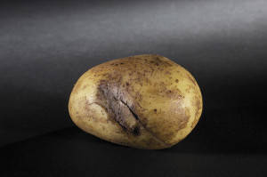 Potatoes Grey damage